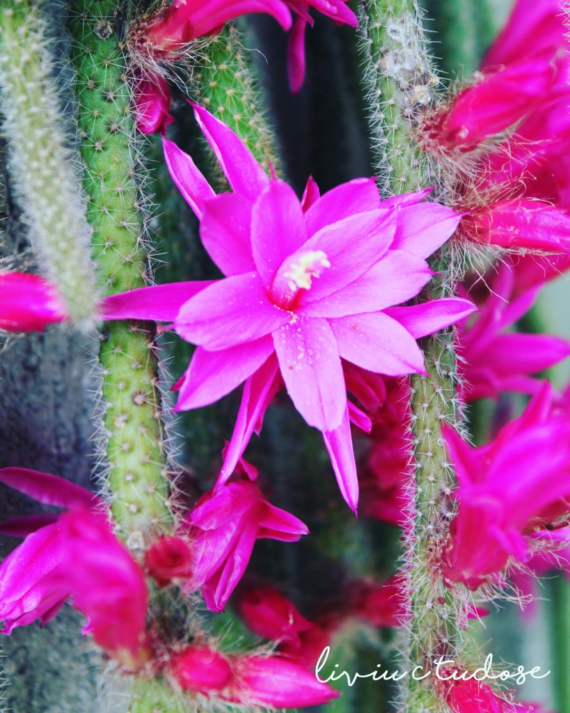Floare de cactus de Liviu Tudose
