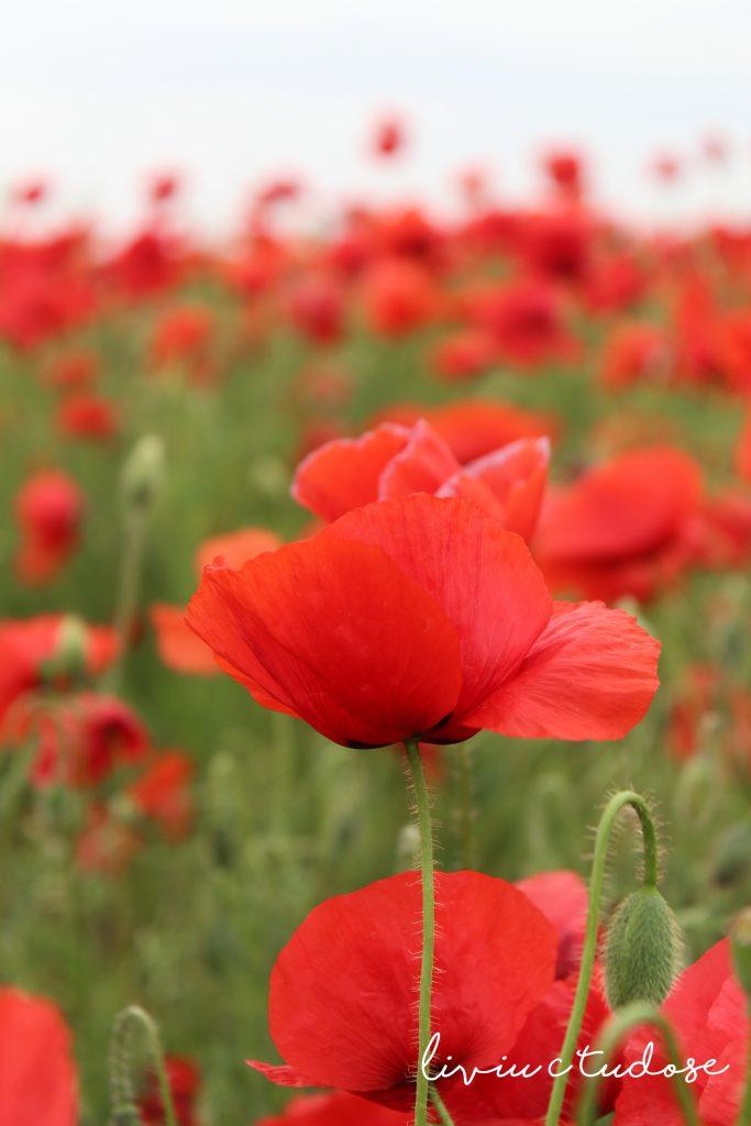 Wild poppy (Common poppy) - Papaver rhoeas