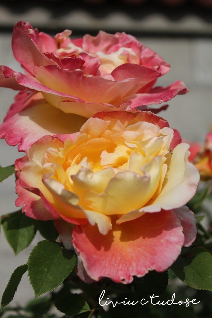 Orange-yellow rose - Doris Tysterman